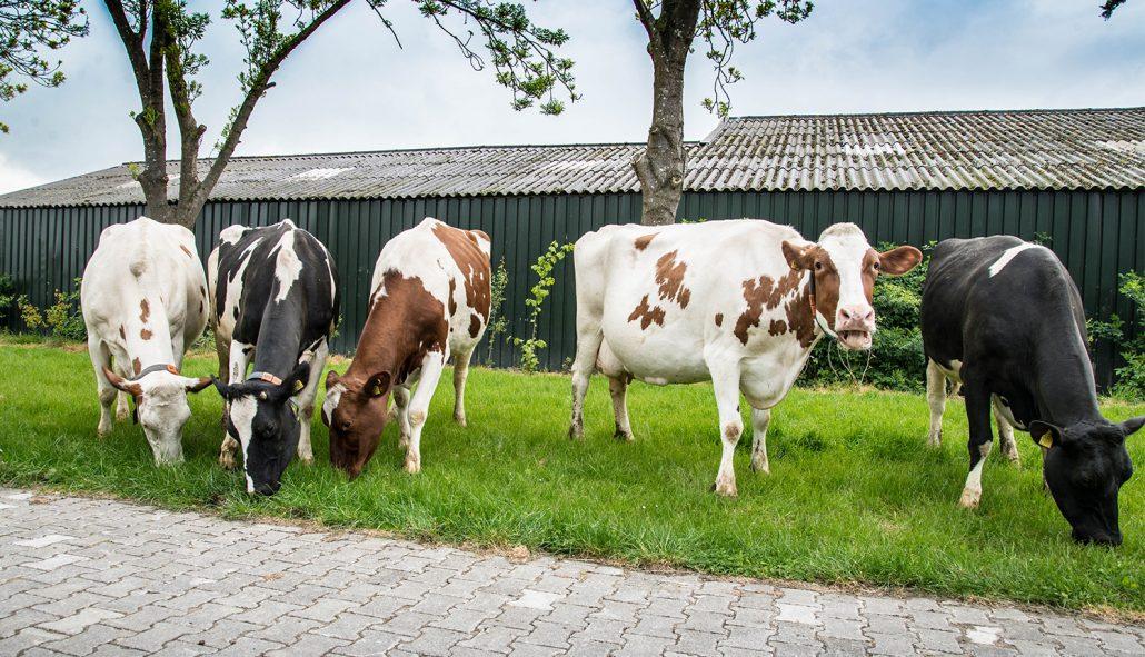 Onze koeien geven niet alleen de lekkerste melk, ze zijn ook nog eens fotogeniek!