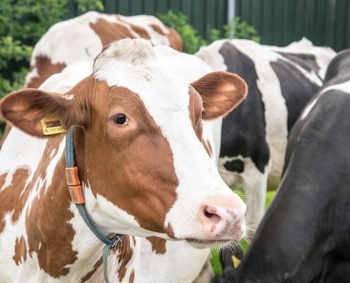 Onze koeien zorgen voor onze vegetarische kaas